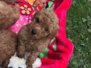 Toy Poodle puppies ready to leave