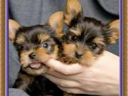 Male and Female Yorkshire terrier Puppies so cute