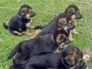 German shepherd puppies.Males & females