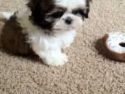 Beautiful Imperial Shih Tzu puppies