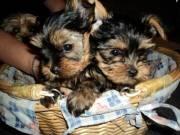 Gorgeous AKC Toy Teacup Yorkie Puppies