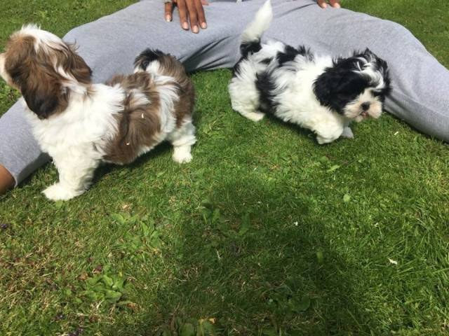 Beautiful Imperial Shih Tzu puppies - Kodiak - Animal, Pet
