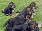 Well socialized German Shepherd