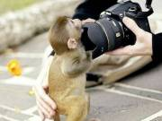 Pygmy marmoset monkey available