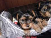 AKC MALE AND FEMALE YORKIES PUPPIES AVAILABLE  908-845-5043