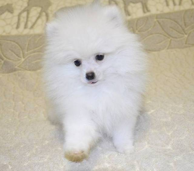 Sweet Pomeranian Puppies San Jose 2300 Wolf Street 9d Dallas