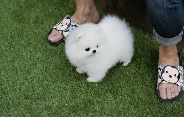 teacup Pomeranian puppy for sale - Salt Lake City - Animal, Pet