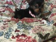 Gorgeous Teacup Yorkie puppies Available text now at