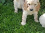 Adorable Cavapoo Puppies Ready Now