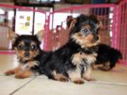 Yorkshire Terrier Puppies-ready Now!!!!!