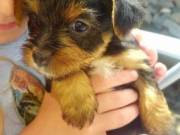 2 Healthy Yorkie Pups TEXT/CALL +1(980) 999-0690