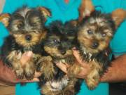 Gorgeous Yorkie Pup Available TEXT/CALL +1(980) 999-0690