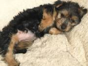 Adorable Yorkie puppies -TEXT/CALL +1(980) 999-0690