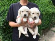 Beautiful playfull chunky golden retriever pups looking for their forever home
