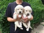 Beautiful playfull chunky golden retriever pups  804-991-8493