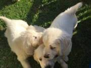 playfull chunky golden retriever pups looking for their forever home!!! 804-991-8493