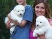 Samoyed puppy for adoption