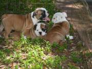 English Bulldogs Puppies