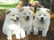 Healthy Chow Chow Puppies for Sale