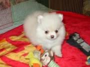 Healthy Purebred Pomeranian Puppies