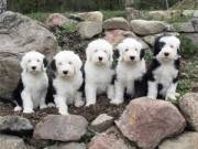 Old English Sheepdog Pupps for Sale