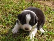 ❤australian shepherd puppies- super cute!!! ❤ ready today