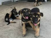 ????Top Quality????????German Shepherd Puppies????