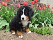 Good Looking Bernese Mountain Puppies Available now