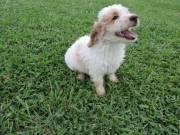 Attractive Cockapoo Puppies