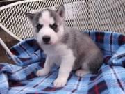Siberian Husky Puppies  Available....