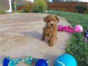 Teacup Yorkie Puppies Available..