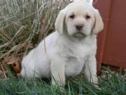 Gorgeous Labrador Retrievers Puppies