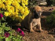 11 weeks Bullmastiff Puppies