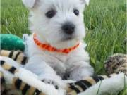10 Weeks Old and West Highland Terrier Puppies