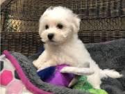 Beautiful AKc Bichon Frise Puppies
