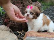 Beautiful Imperial Shih Tzu Puppies for sale