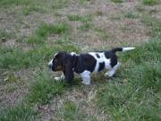 Amazing Basset Hound Puppies for you