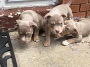 American Pitbull Puppies
