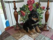 Amazing Rottweiler Puppies Ready Now