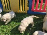 Beautiful playfull chunky golden retriever pups looking for their forever home!!!