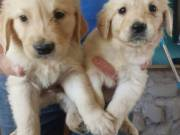 chunky golden retriever pups looking for their forever home!!!
