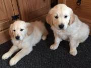 Golden Retriever pups looking for their forever home 804-991-8493