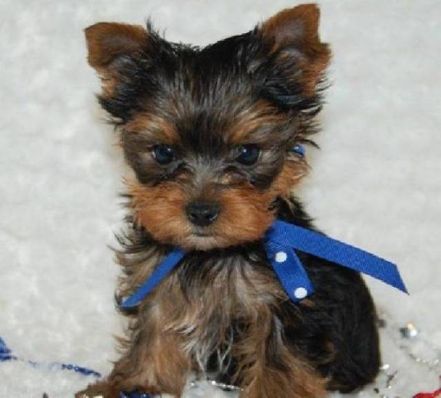 Nice Teacup Yorkie Puppies for Adoption - New Castle - Animal, Pet