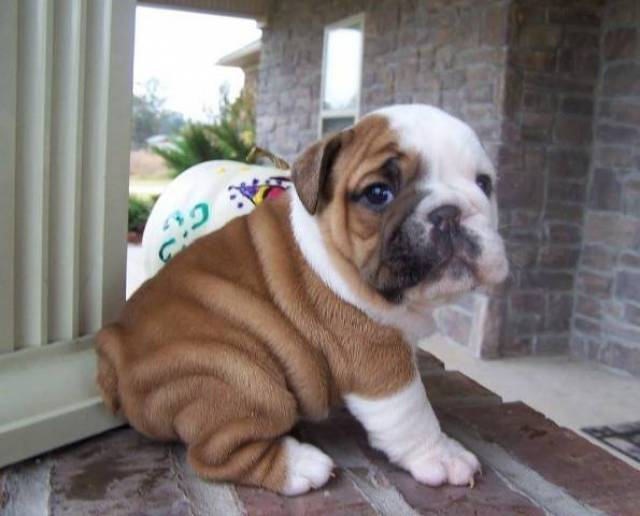 12 Weeks Old English Bulldog Puppy Los Angeles Animal Pet