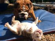 Intelligent Beautiful Bulldog Purebred English Bulldog   Available