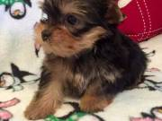 Adorable teacup Yorkshire terrier puppies available