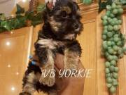These Gorgeous T-cup Yorkie Puppies Are Small And Cute