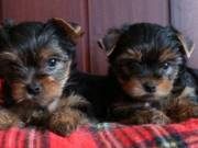 Two T-Cup Yorkie Puppies Now Ready text/call via (507) 262-7568
