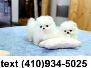 Cute tiny t-cup pomeranian puppies for sale