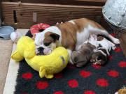 Quality Registered Bulldog Puppies